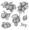 hops plant cones sketch beer brewing ingredient