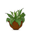 pot with potted flowers anthurium isolated vector image vector image