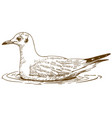 engraving drawing black-headed gull vector image vector image