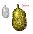fresh jackfruit design vector image