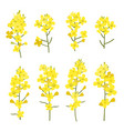 rapeseed flowers set isolated on white background vector image vector image