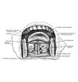 anterior part of floor of mouth vintage vector image vector image