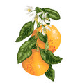 grapefruit fruits with blooming flowers on the vector image