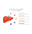 human liver anatomy infographic template concept vector image