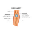 anatomy of elbow joint vector image vector image
