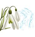 snowdrop vector image vector image