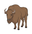 color image of bison vector image vector image