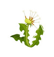 small dandelion with fluffy seeds and green leaves vector image vector image
