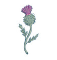 scottish thistle drawing vector image vector image