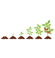 tomato stage growth vector image vector image