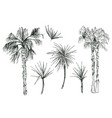 coconut palms or queen palmae with leaves vector image