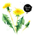 hand drawn watercolor dandelion flower painted vector image vector image