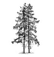 cartoon drawing of spruce conifer tree vector image