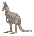 color of a gray kangaroo vector image