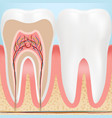 anatomy of healthy teeth isolated on a background vector image vector image