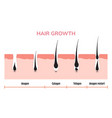 hair growth cycle skin follicle anatomy anagen vector image vector image