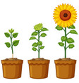 three pots of sunflower plants vector image vector image