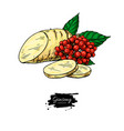 ginseng root slice and berry drawing vector image vector image