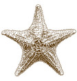 engraving drawing of hippasteria sea star vector image