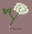 Flowering angelica herb vector image