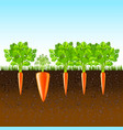 growing carrots in the ground background vector image