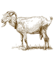 engraving big goat vector image