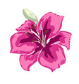 beautiful pink lily flower of big lily isolated vector image vector image