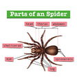 Diagram showing parts of spider vector image vector image