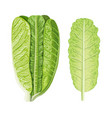 fresh green romaine lettuce head and leaf lactuca vector image vector image