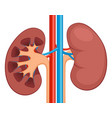 kidney renal flat realistic icon human kidney vector image vector image