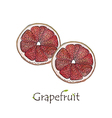 Two sliced grapefruit watercolor vector image vector image