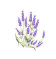bunch of lavender flowers on a white background vector image vector image