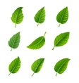 green leaves decorative set vector image