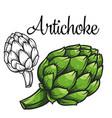 artichoke drawing icon vector image