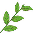 blueberry branch with green leaves vector image vector image