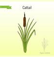 cattail typha latifolia wetland plant vector image vector image
