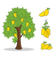 yellow mango on tree with white background vector image vector image