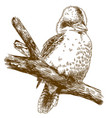 engraving drawing of laughing kookaburra vector image vector image