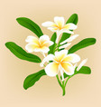 white plumeria flower vector image