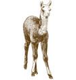 engraving drawing llama cub or alpaca or vector image
