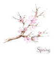 Watercolor branch of cherry blossoms vector image
