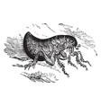 human flea vintage vector image vector image