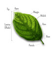 basic leaf parts external structure infographics vector image vector image