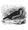 european sparrowhawk vintage vector image vector image