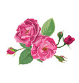 blooming roses or peonies with leaves and buds vector image vector image