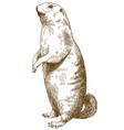 engraving drawing of marmot vector image vector image