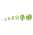 sweet oranges tree growth stages vector image vector image