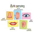 five senses vector image vector image