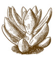 engraving of pachyveria glauca little jewel vector image vector image