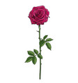 realistic hand drawn dark red rose flower vector image